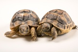 Six Month Old Greek Tortoises at Parco Natura Viva