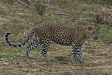 An Alert Leopard in Yala National Park