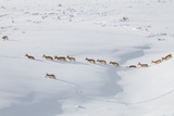 Pronghorn Antelope Migration in Western Wyoming