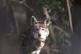 Portrait of Red Wolf  Canis Rufus