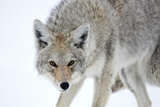 A Coyote  Canis Latrans  Takes on a Weary Stance