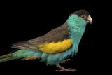 A Hooded Parakeet  Psephotus Dissimilis  at Sylvan Heights Bird Park