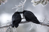A Pair of Ravens  Corvus Corax  Share an Intimate Gesture on a Frozen Branch