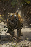A Charging Tiger in India's Bandhavgarh National Park