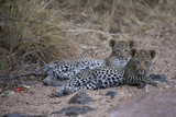 A Pair of Leopard Cubs Rest in South Africa's Timbavati Game Reserve