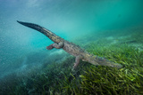 A Submerged American Crocodile  Crocodiles Acutus  Swims Above a Bed of Turtle Grass