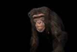 An Endangered Chimpanzee  Pan Troglodytes  at Rolling Hills Zoo
