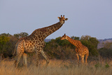 Two Giraffes Walk in Tall Grass at the Phinda Game Reserve