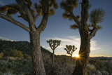 Drought Effected Joshua Trees in Joshua Tree National Park