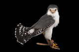 An African Pygmy Falcon  Polihierax Semitorquatus  at the Houston Zoo