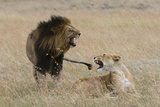 Lions  Panthera Leo  Masai Mara  Kenya