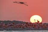 A Caribbean Flamingo  Phoenicopterus Ruber  in Flight at Sunset