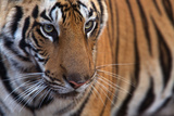A Male Tiger in Bandhavgarh National Park