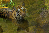 An Indian Tiger Cools Off in a Stream in Bandhavgarh National Park