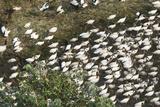 A Large Flock of Juvenile Jabiru Storks  Jabiru Mycteria  in Water