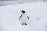A Lone Penguin Stands in the Snow