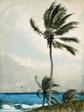 Palm Tree  Nassau  1898