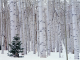 USA  Utah  La Sal Mountains  Manti-Lasal National Forest  Aspen and Douglas Fir in Winter