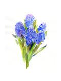 Blue Hyacinth  2014