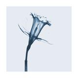 Daffodil in Blue