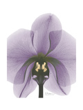 Purple Orchid A29