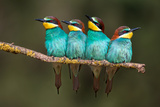 Bee-Eater Resting