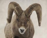 Mouflon Impasse