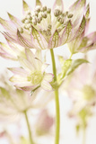 Astrantia Haze Reproduction d'art par Irene Suchocki