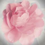Belle Rose IV