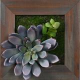 *Exclusive* Lavender Succulent Square - Grayson Mahogany *