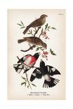 Vintage Birds: Rose-Breasted Gosbeak  Plate 35