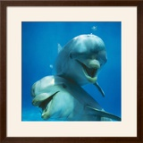 Bottlenose Dolphin Two Facing Camera