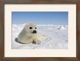 Harp Seal Pup
