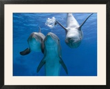 Bottlenose Dolphins  Three Playing Underwater