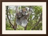 Koala Mother with Piggybacking Young Climbs Up