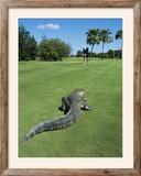 American Alligator on Golf Course