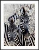 Namibia  Etosha National Park Portrait of Two Zebras