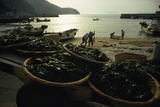 Baskets of Wakame Seaweed Await Processing on a Beach