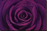 Purple Rose Close-Up Art Print Poster
