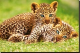 Cheetah Cubs in Grass Art Print Poster