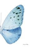 Miss Butterfly Euploea - X-Ray Right White Edition Papier Photo par Philippe Hugonnard