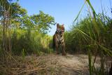 A Remote Camera Captures A Bengal Tiger In Kaziranga National Park