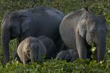 An Indian Elephant Family In Kaziranga National Park