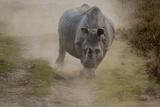 A Charging One-Horned Indian Rhinoceros In Kaziranga National Park