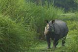 A One-Horned Indian Rhinoceros In Kaziranga National Park
