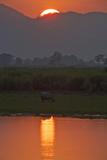 A One-Horned Indian Rhinoceros Along The Brahmaputra River