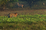 A Male Tiger Stalks Spotted Deer In India's Bandhavgarh Tiger Reserve