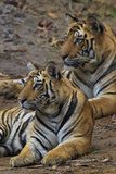 A Pair Of 14-Month Old Tiger Cubs Rest In Bandhavgarh Tiger Reserve