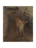 A Jersey Calf  1893