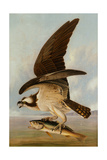 Osprey and Weakfish  1829
